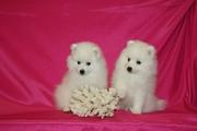 Продаются щенки японского шпица от титулованных родителей,  с родословн