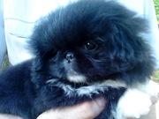 Великолепный малыш пекинеса с отличной родословной. Питомник РКФ.