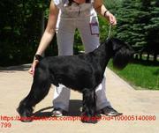 Продаются щенки стандартного шнауцера черного окраса 2 дев,  2 мальч