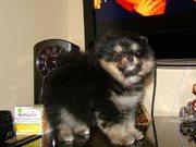 Померанские шпицы,   миниатюрные щенки.