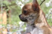Чихуахуа щенки лилипуты