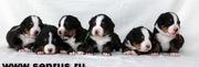 Ведущий питомник России Зенненхунд России предлагает щенков с отличной