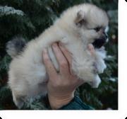 Высокопородистые щенки немецкого шпица (малый и мини (померанский))
